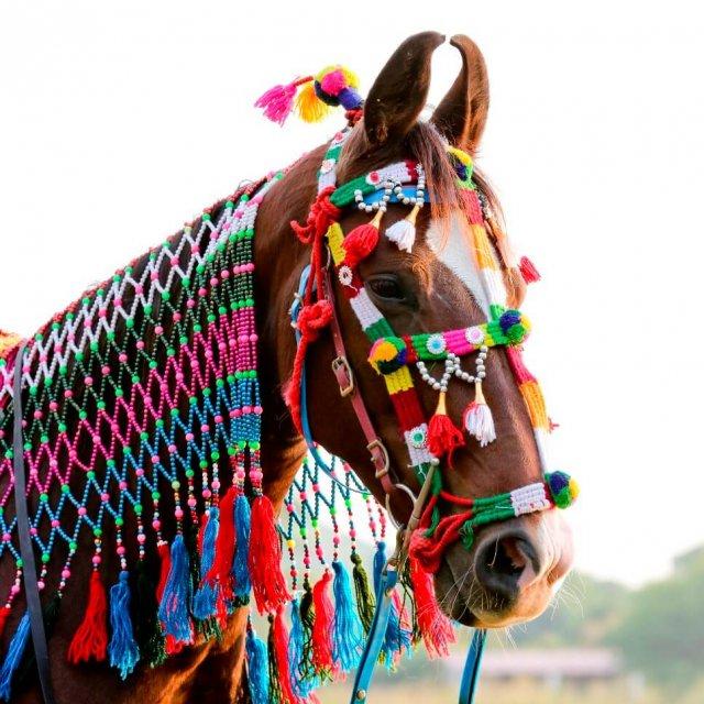 Kühe sind heilig, Pferde sind göttlich. Das einzigartige Marwaripferd aus Rajasthan mit den typischen Sichelohren wird von den Indern hoch verehrt. Foto: G. Kärcher